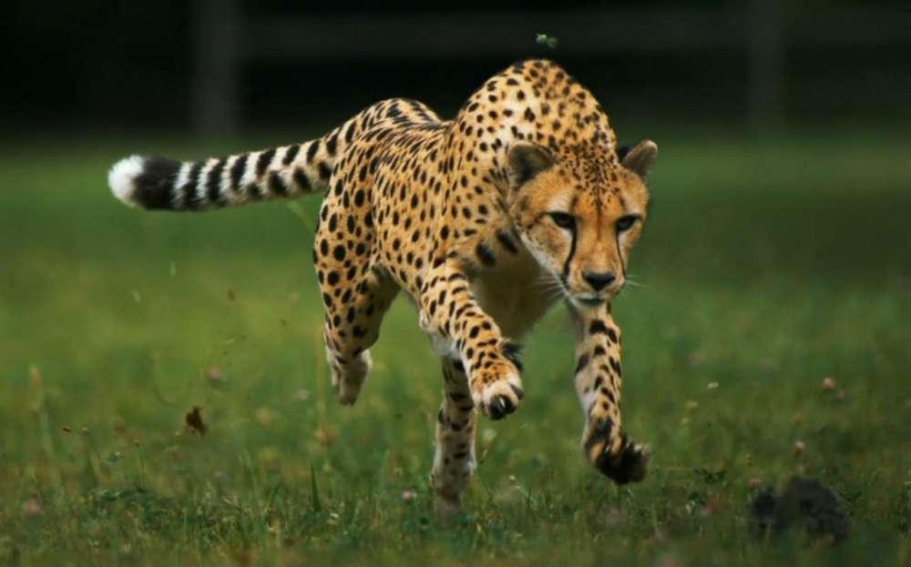 Cheetahs σε Slow Motion