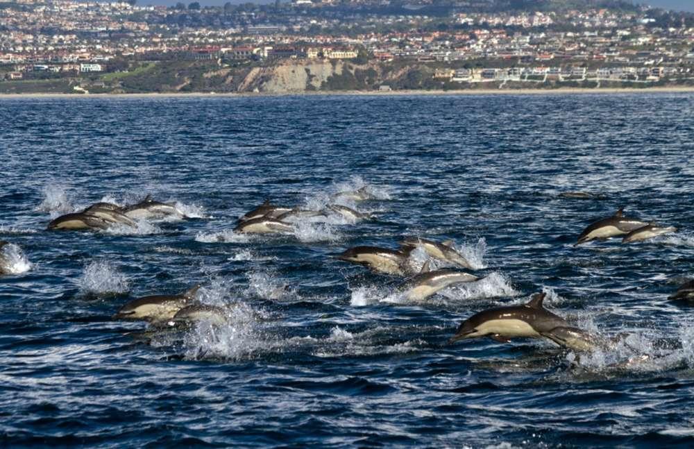 Dolphin Stampede   LA102